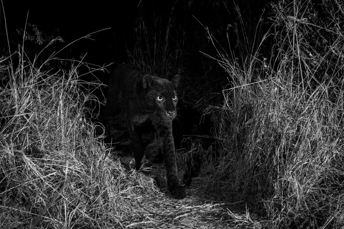 Photos & Video — Extremely Rare Black Panther Spotted In ...